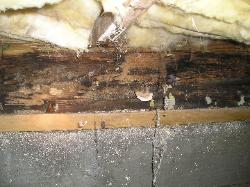Mushrooms on rim joist - 15 year old house